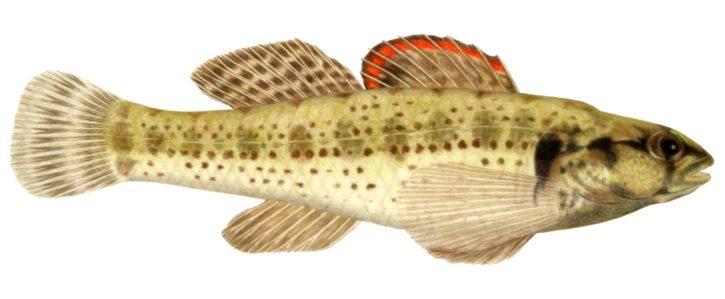 okaloosa, ακοντιστής, εικονογράφηση, αντιπροσωπευτική, ομάδα, ψαριών, ταυτοποίηση