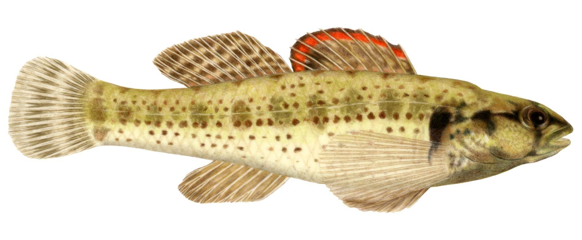 Free picture okaloosa darter illustration for Fish representative species