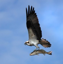 osprey, flight, spotted, sea, trout