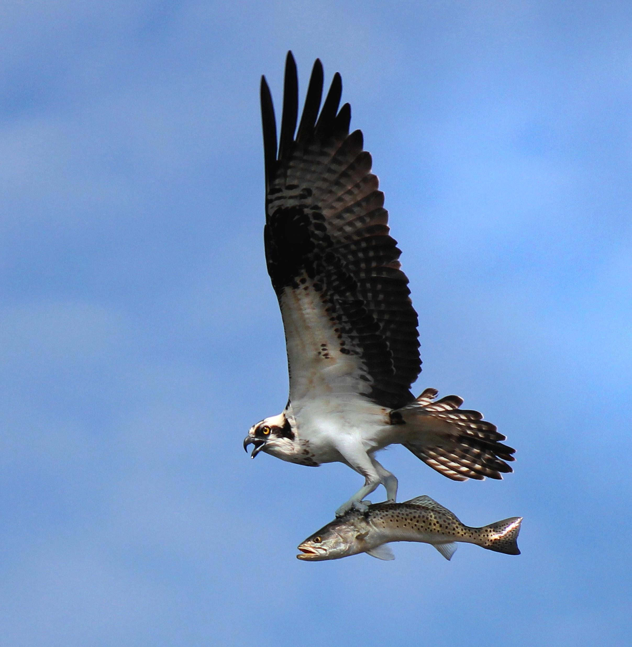 Free photograph; osprey, flight, spotted, sea, trout