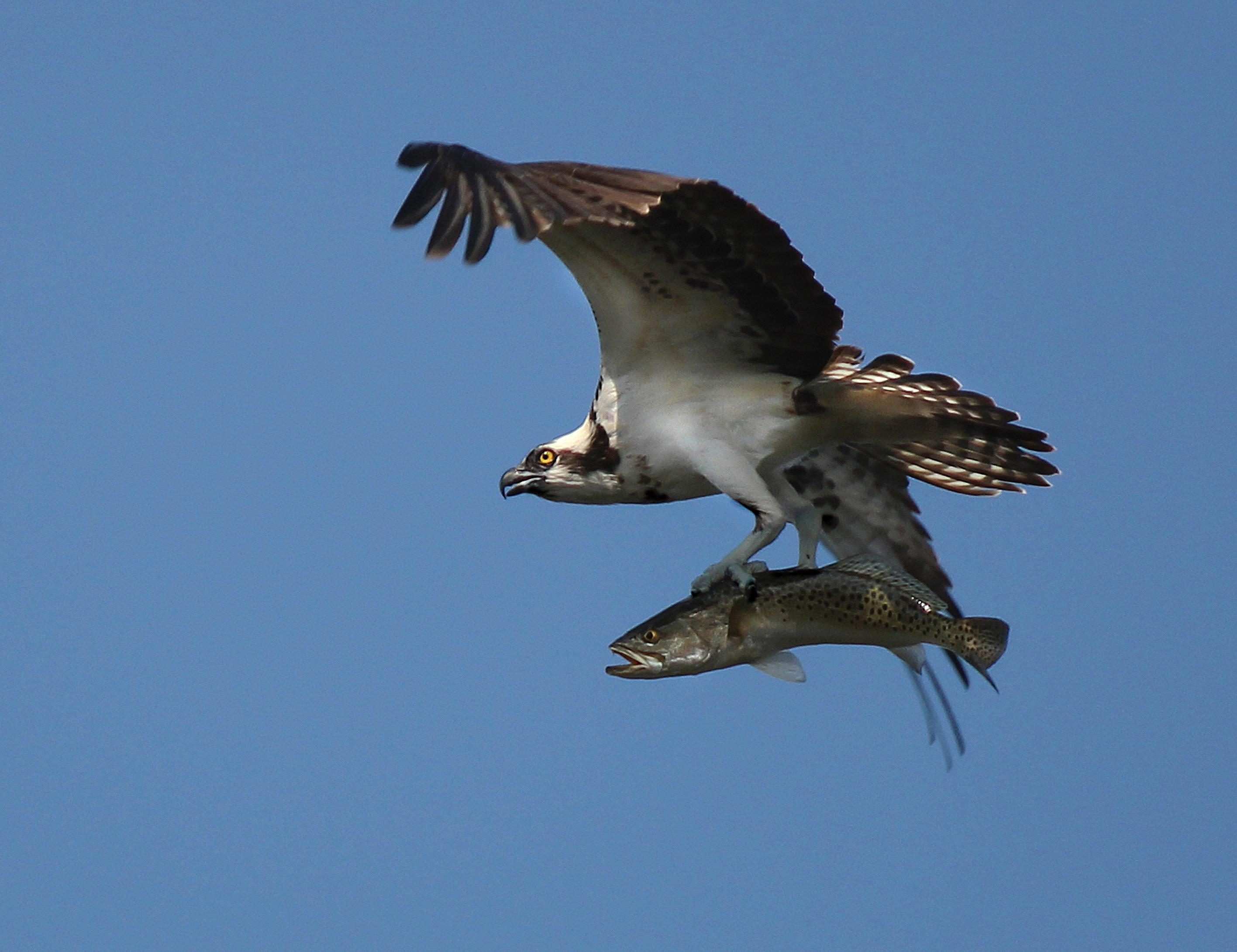Free photograph; osprey, spotted, sea, trout