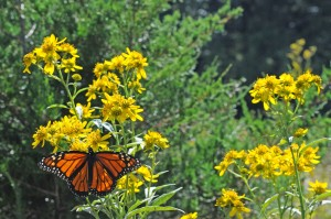 plants, meadow, Monarch, butterfly