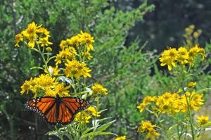 cây, đồng cỏ, Monarch, bướm