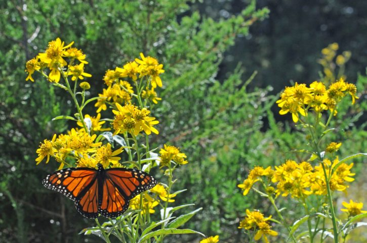 plants, meadow, Monarch, butterfly