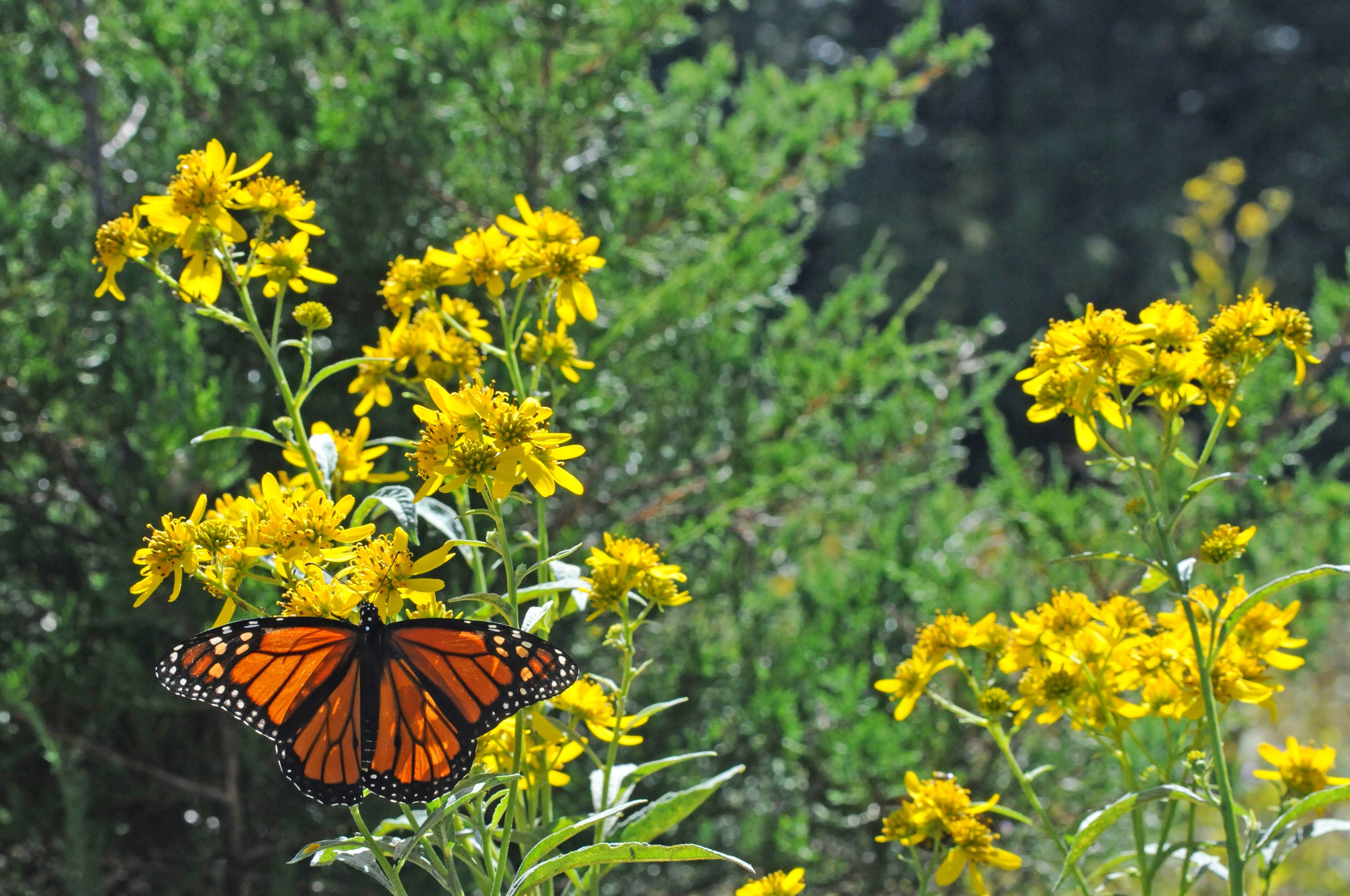 Free photograph; plants, meadow, Monarch, butterfly
