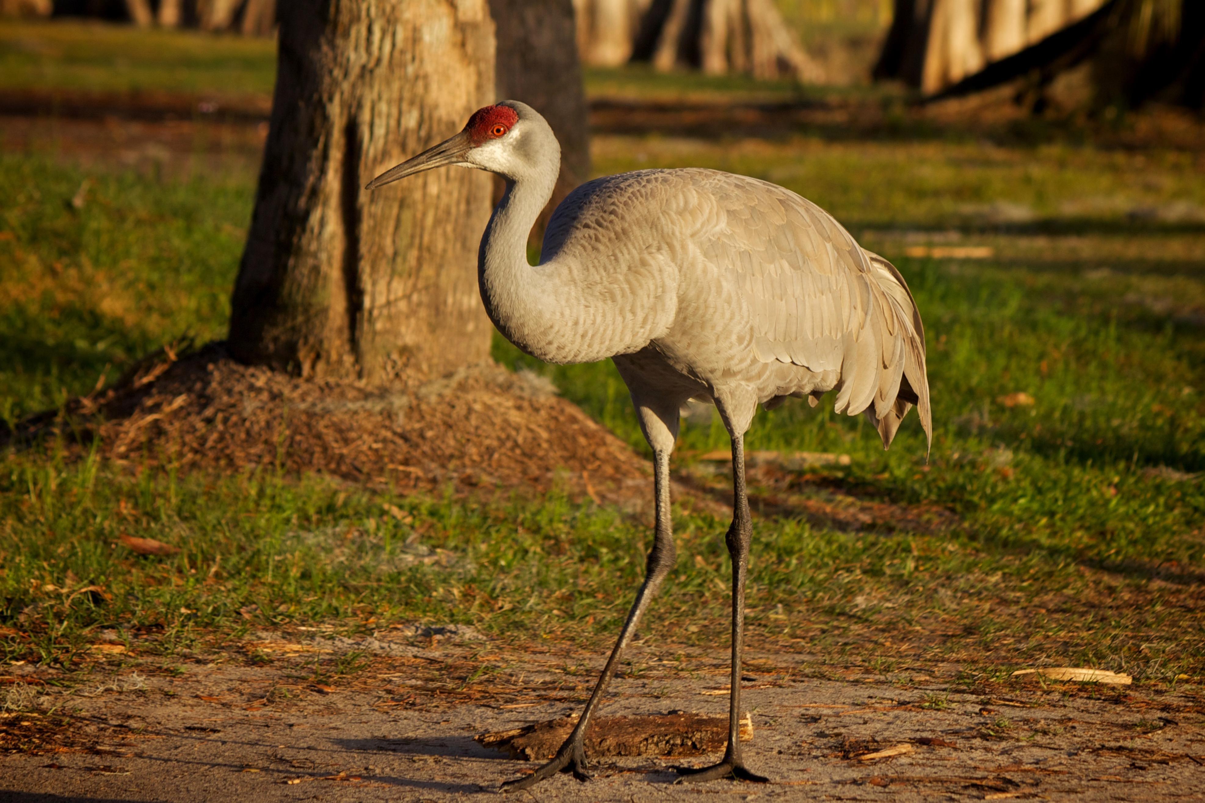 Free photograph; sandhill, crane, bird