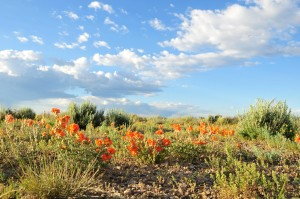 écarlate, globemallow, plante, fleur, fleur, désert, nature, sauvage