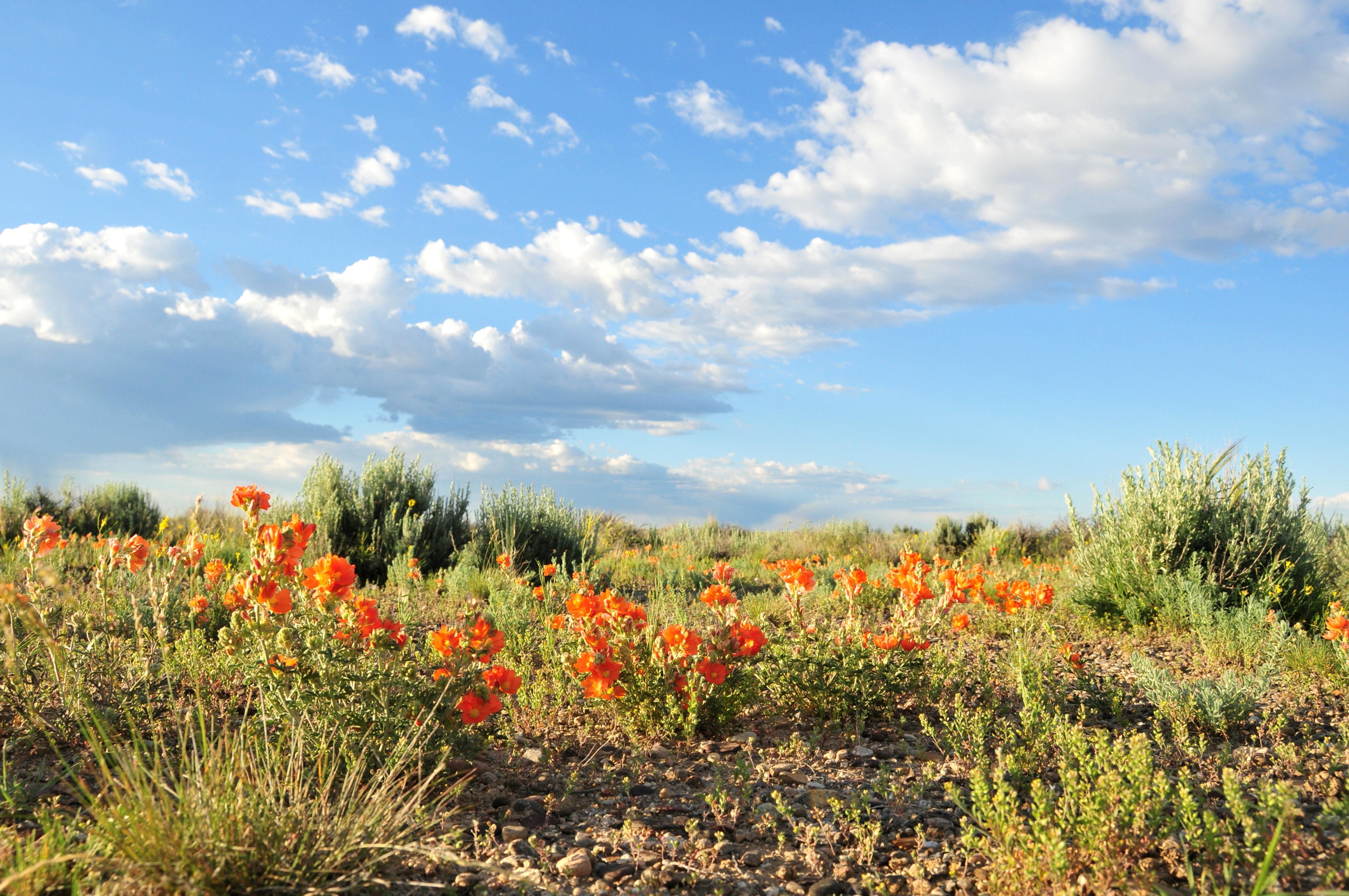 Free photograph; scarlet, Globemallow, plant, flowering, bloom, desert, nature, wildness