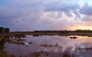 shorebirds, wetland, birds