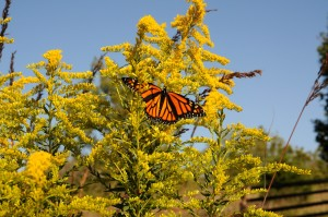 shrub, plant, Monarch, butterfly