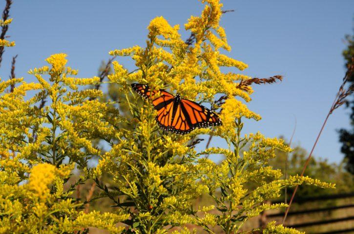 shrub, plant, Monarch, butterfly