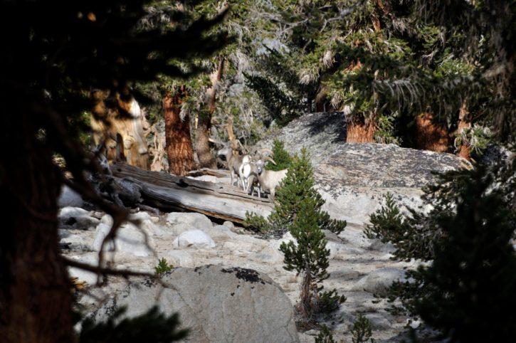 Sierra Nevada, con grandes cuernos, ovejas