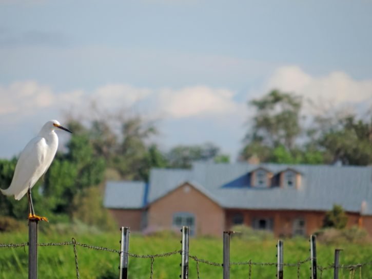 snowy, egret, perched, fence