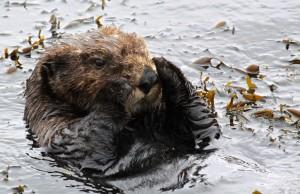 sea, otter, animal, mammal