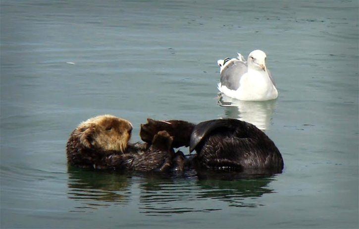 southern, sea, otter, mallal, gull, birl, waterfowl