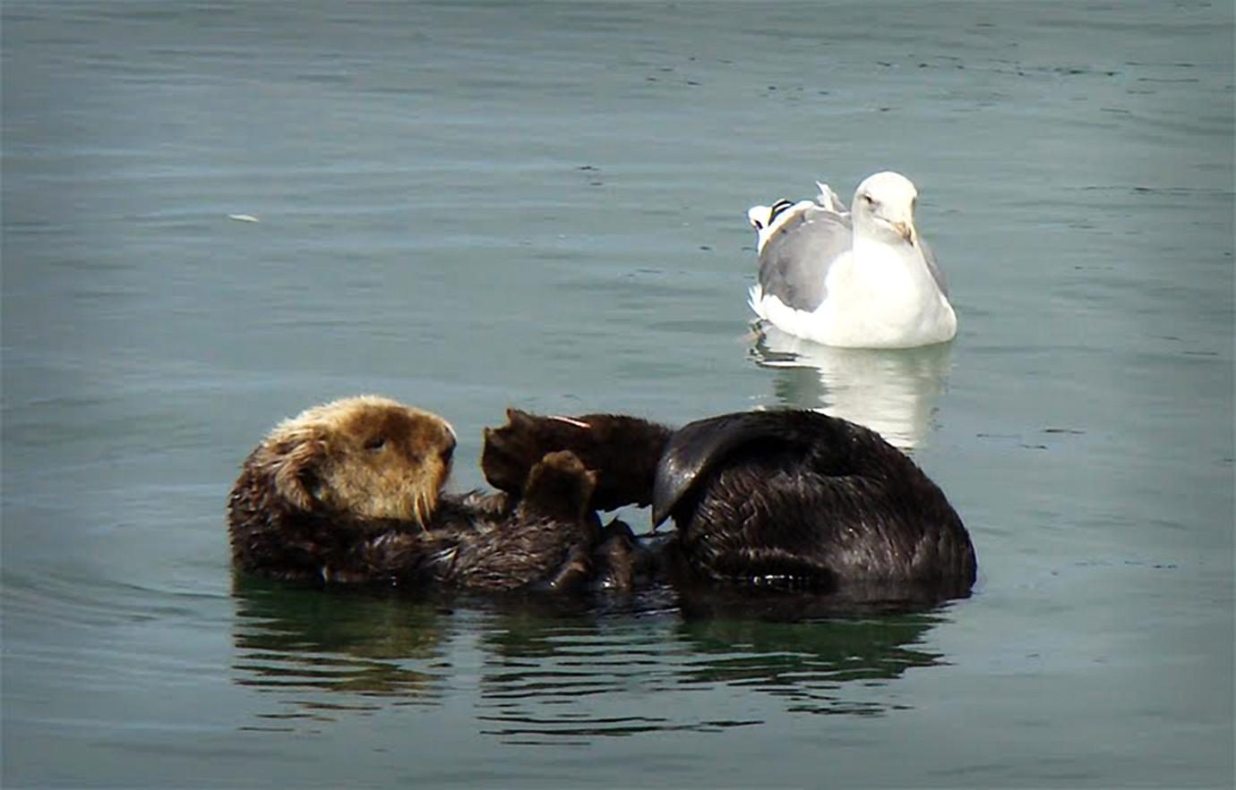 Free photograph; southern, sea, otter, mallal, gull, birl, waterfowl