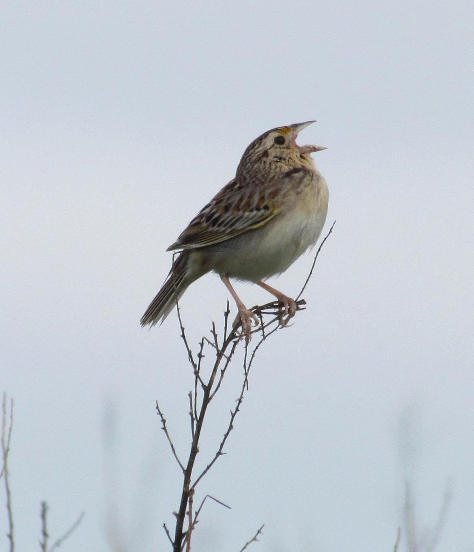 Free photograph; spring, grasshopper, sparrow