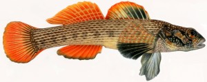striped, Darter, fish, Illustration, representative