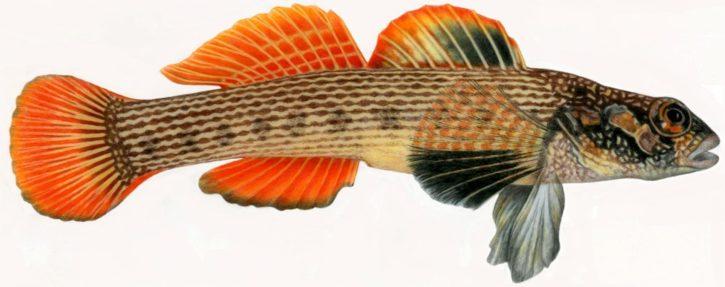 striped, Darter, fish, Illustration, representative