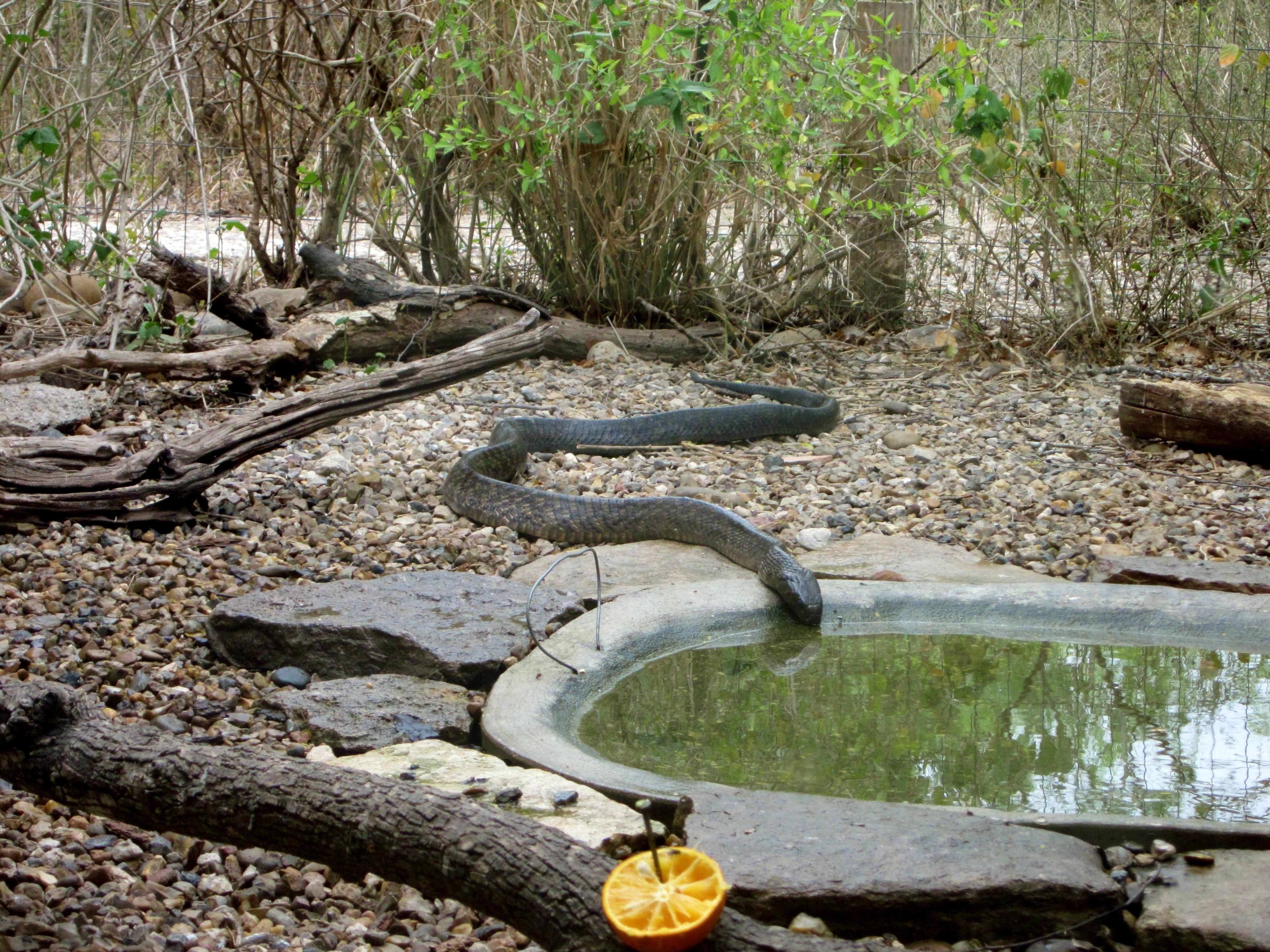 Free photograph; texas, indigo, snake