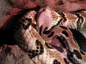 목재, 방울뱀, 파충류, 뱀, 동물