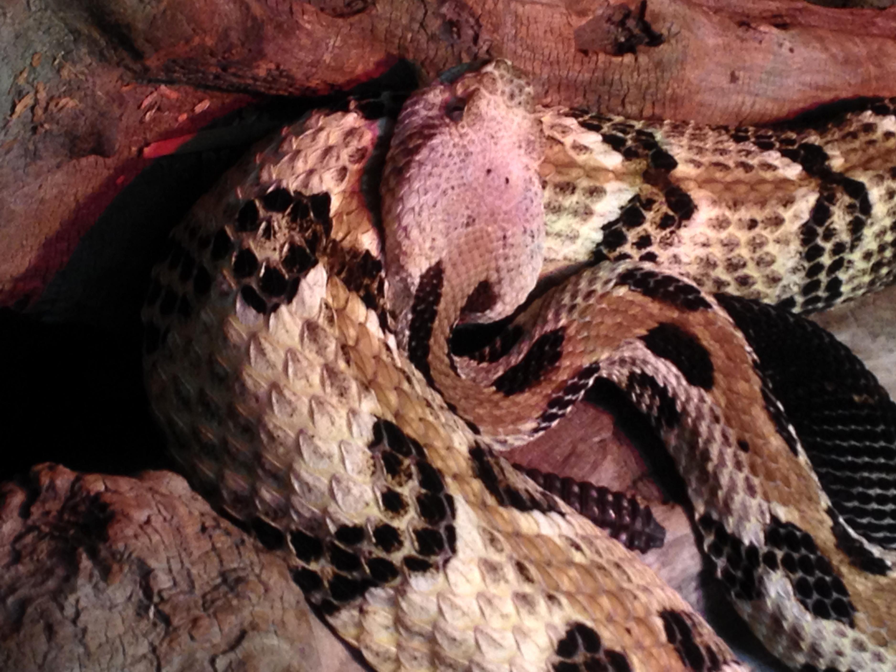 Free photograph; timber, rattlesnake, reptile, snake, animal