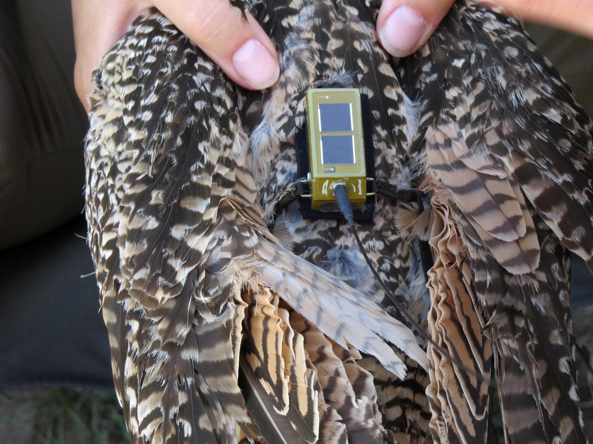 Free photograph; biologist, transmitter, long, billed, curlew