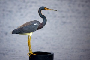 tricolored, heron, Louisiana, heron, bird