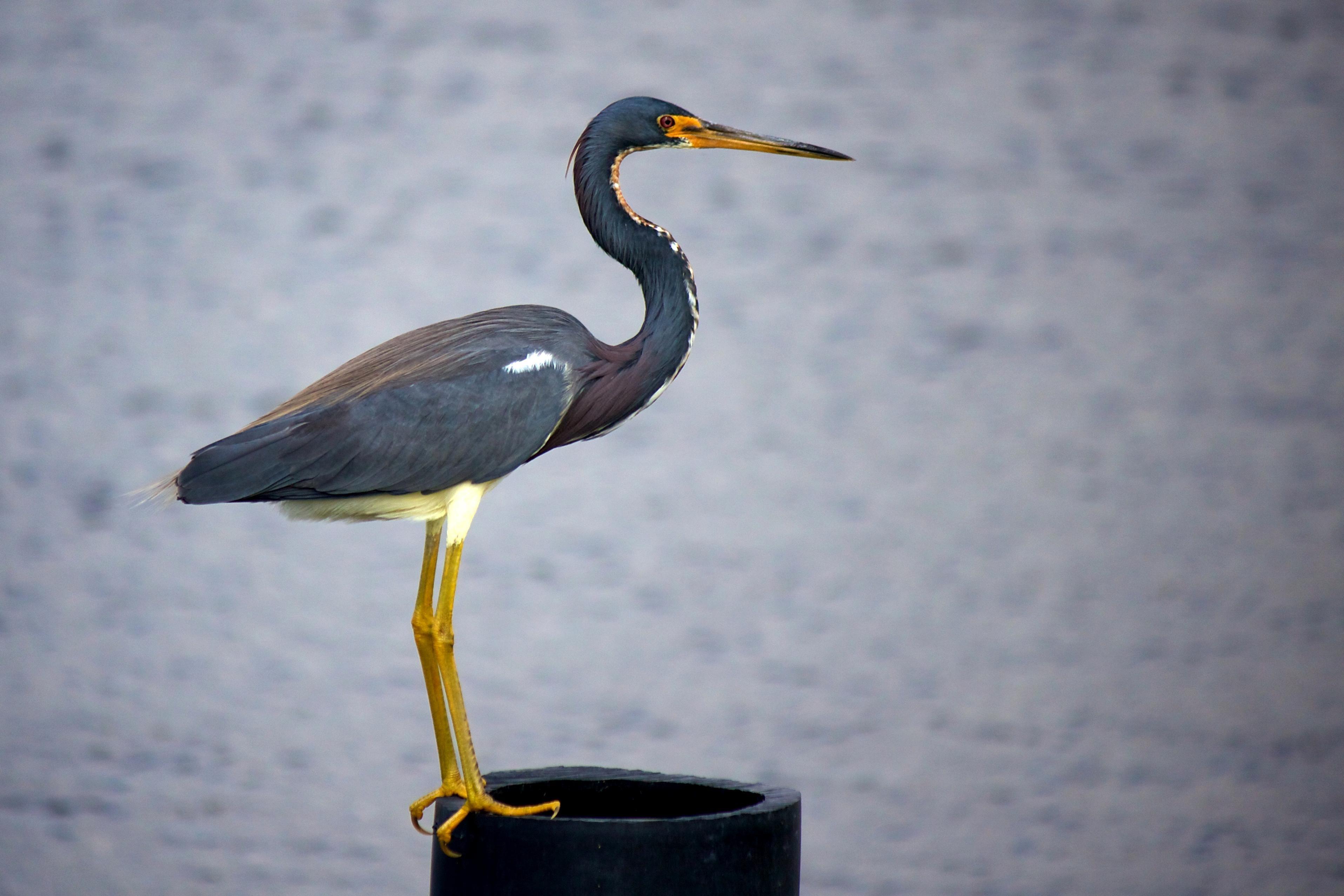 Free photograph; tricolored, heron, Louisiana, heron, bird