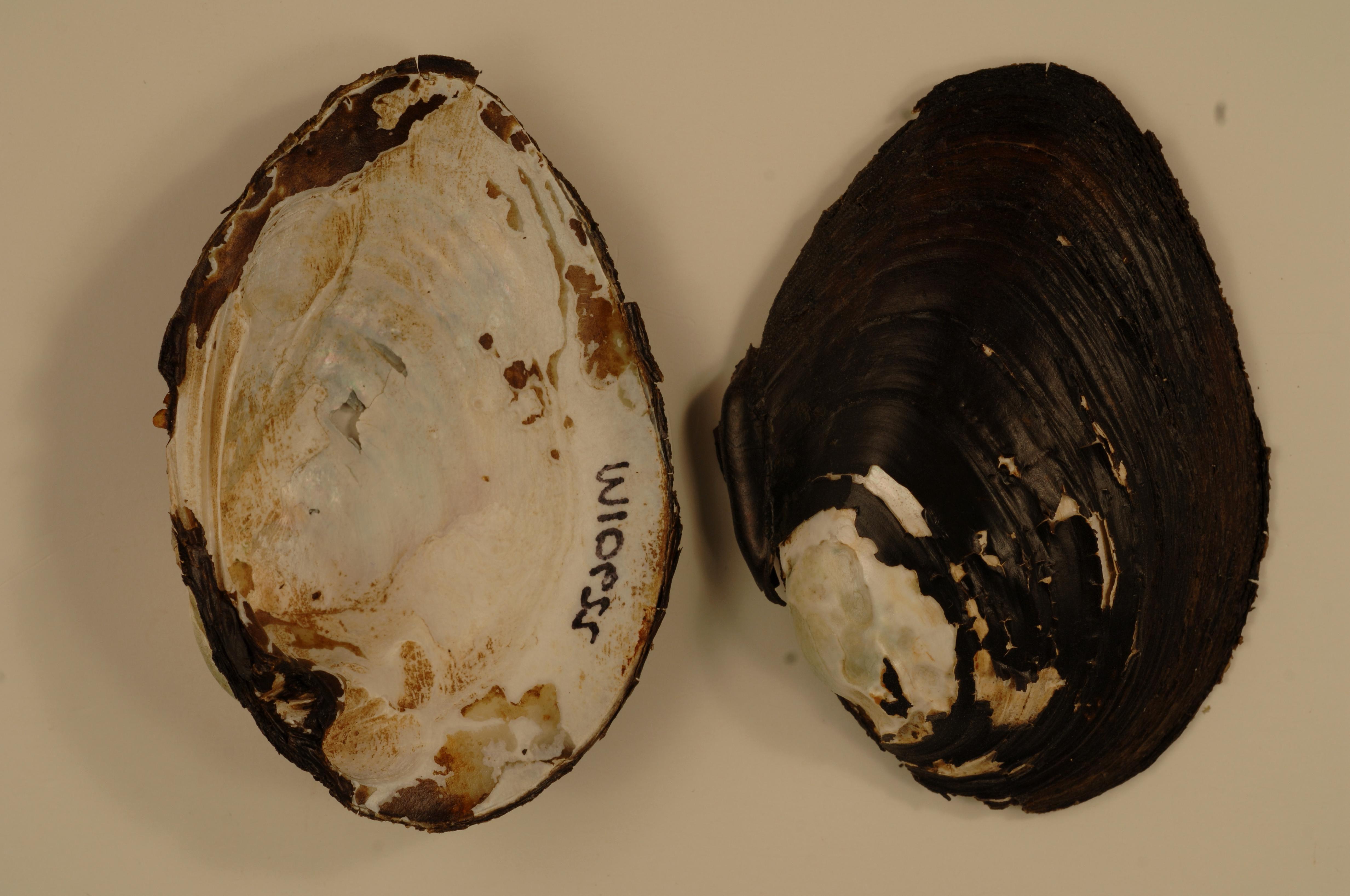 Free photograph; wabash, pigtoe, shells