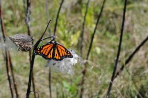 fleurs sauvages, Monarch, papillon, asclépiade, la floraison, plante