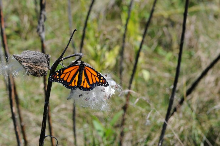 wildflowers, Monarch, butterfly, milkweed, flowering, plant