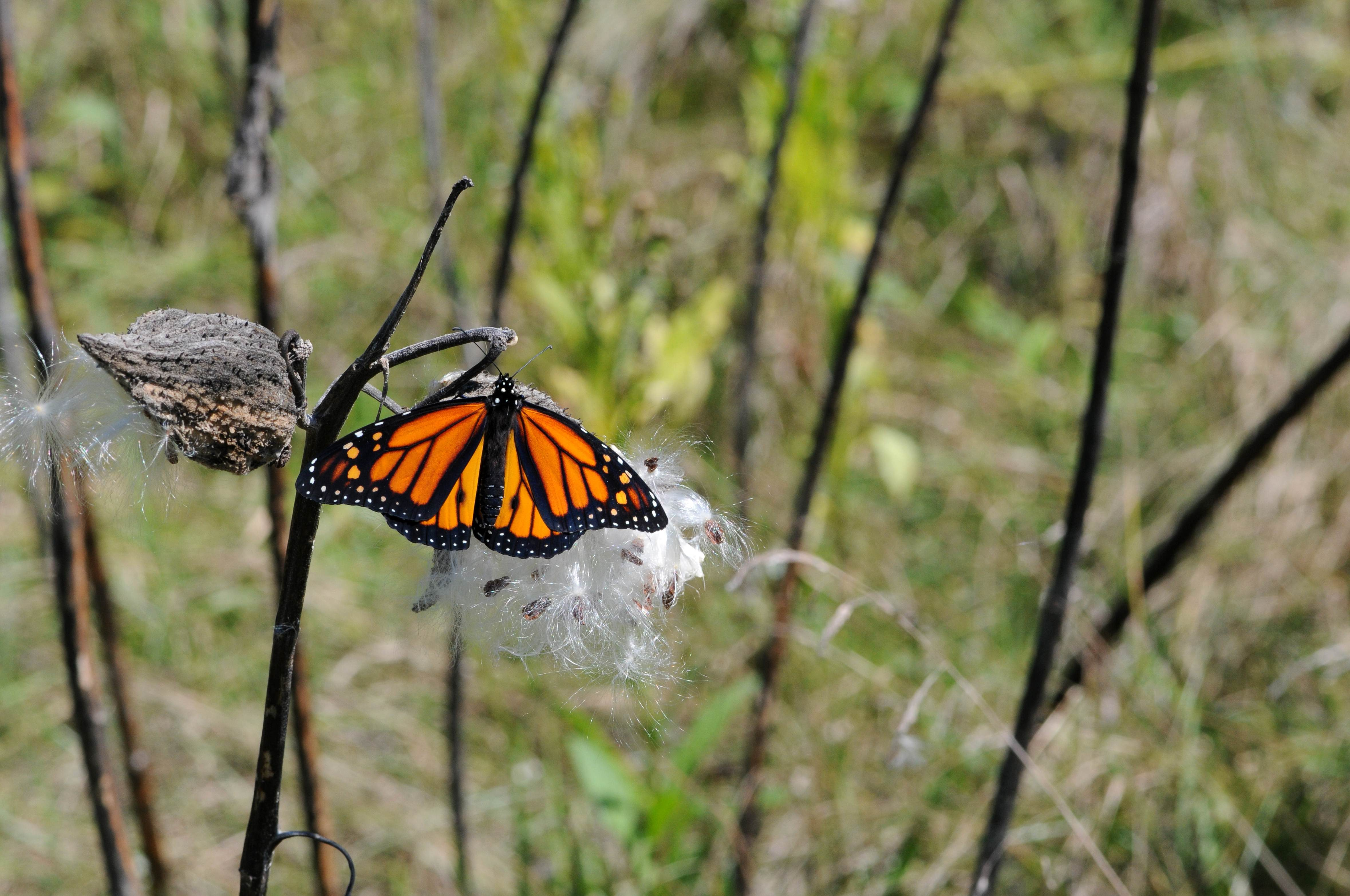Free photograph; wildflowers, Monarch, butterfly, milkweed, flowering, plant
