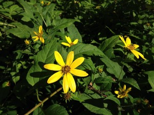 woodland, sunflower