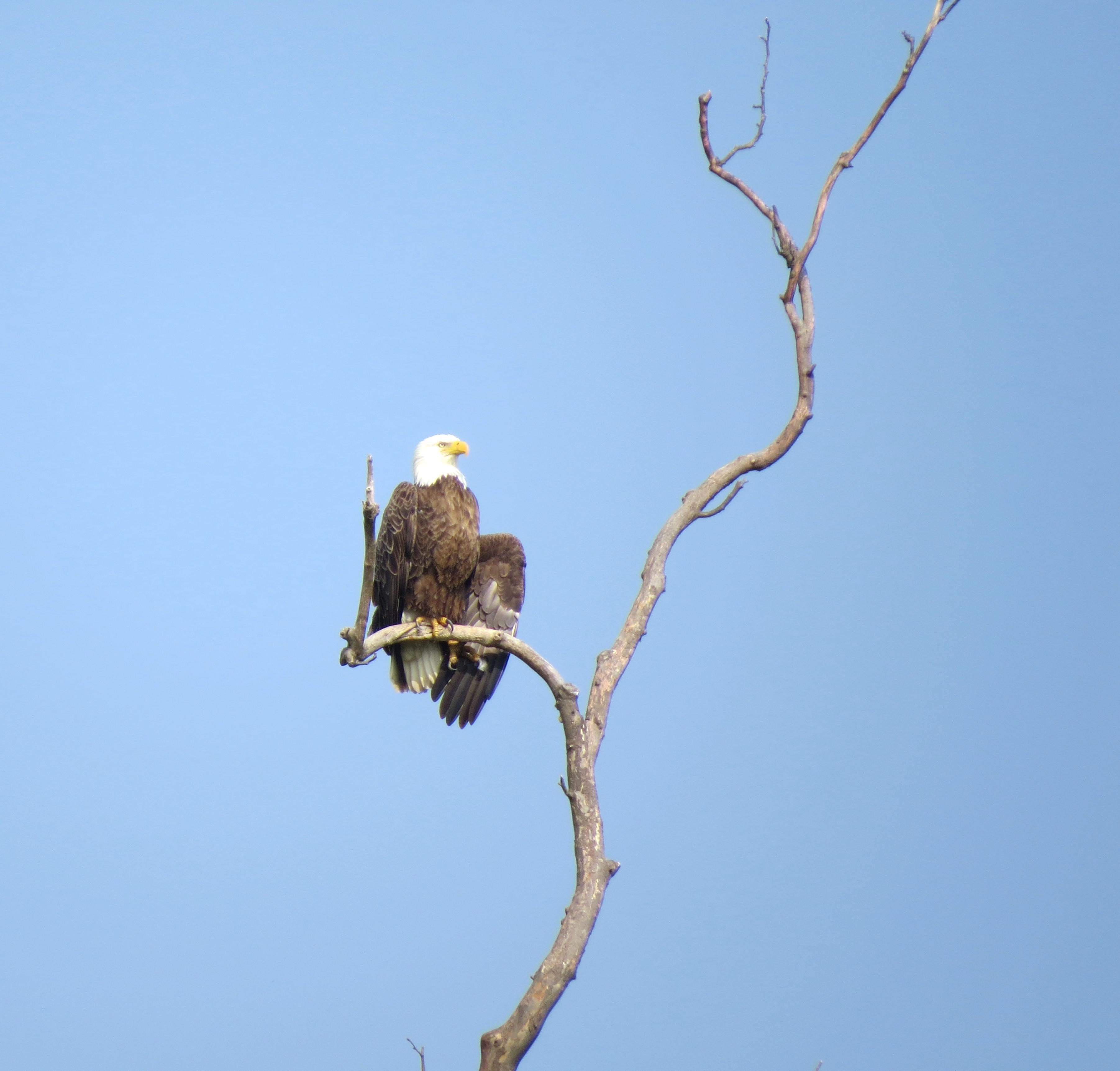 Free photograph; adult, bald, eagle, one, wing, extended, sits, tree