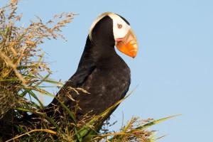 Alaska, tuften, Maskonur, ptak