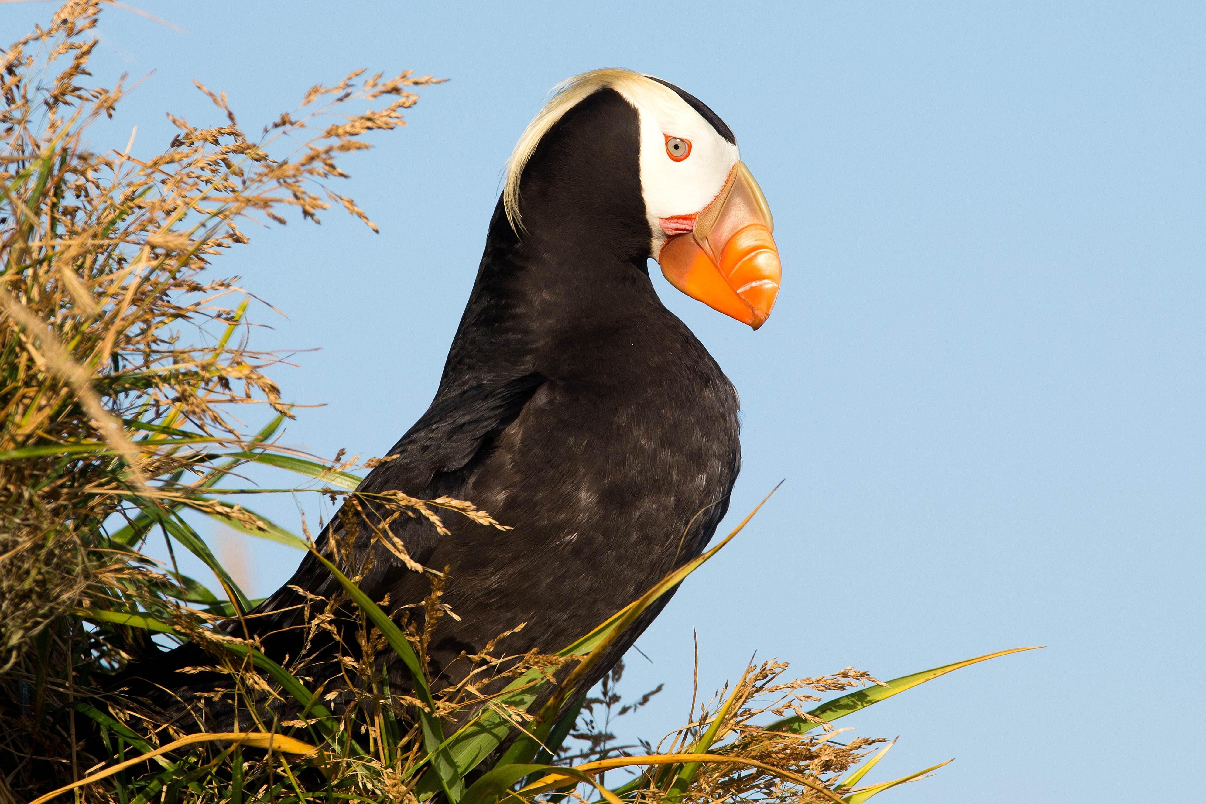 Free photograph; alaska, tuften, puffin, bird