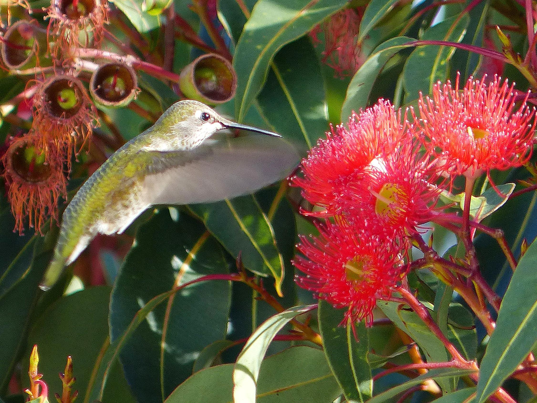 Free photograph; anna, Hummingbird, bird, flight, flower