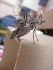 arilus cristatus, Wheel, bug, cardboard