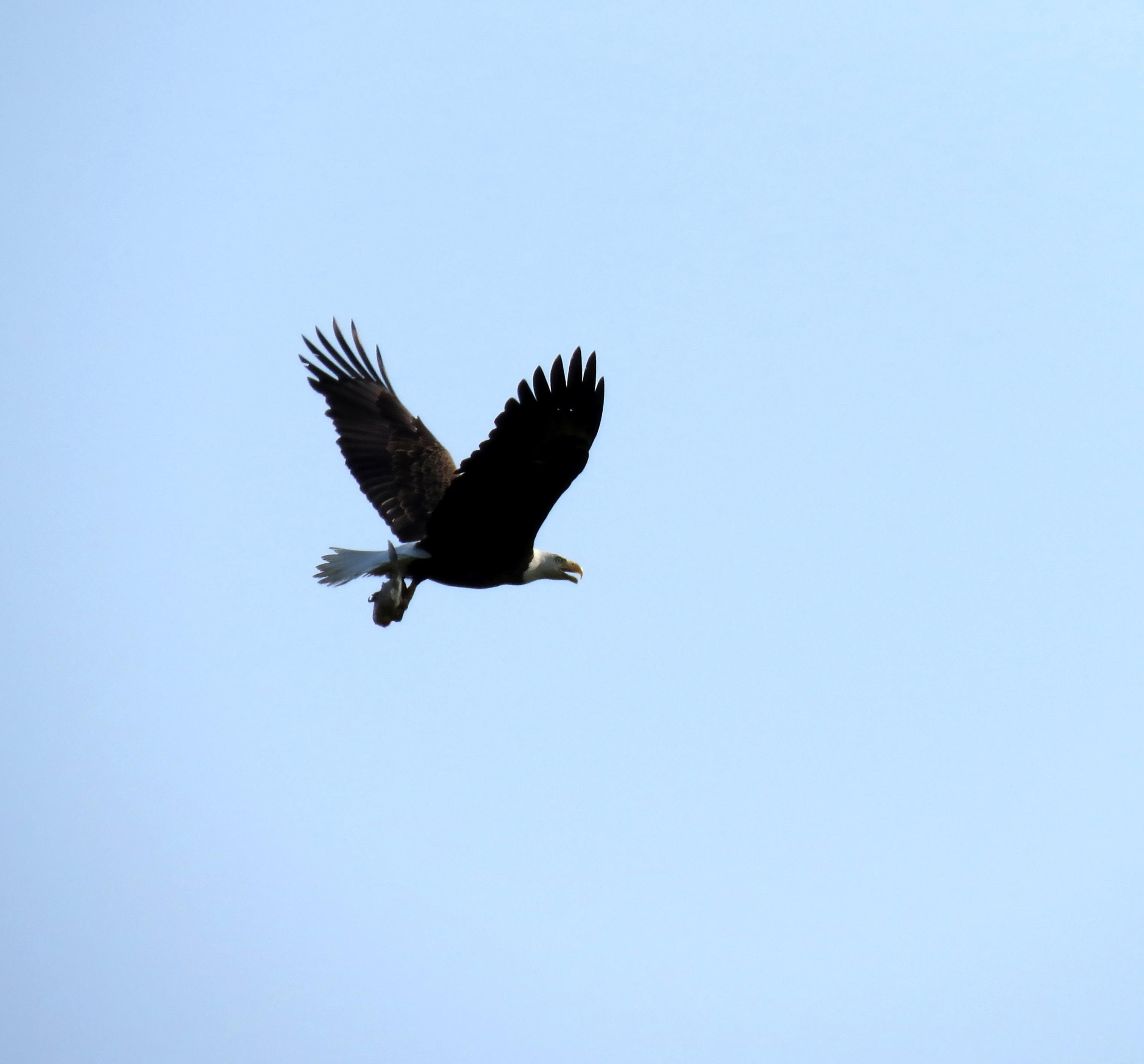 Free photograph; bald, eagle, fish, fly, sky