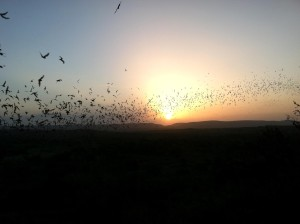 bats, flying, sunset