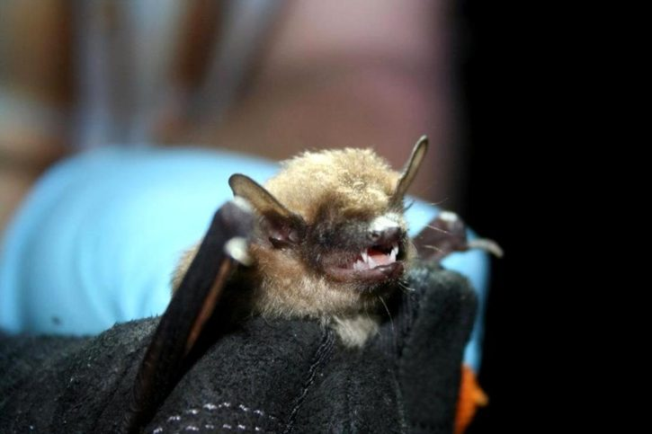 big, brown, bat