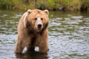 big, brown bear, water