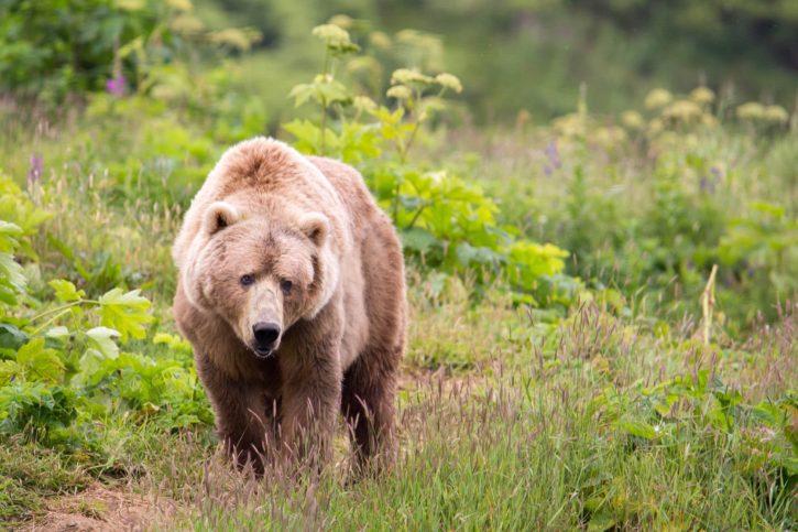 big, Kodiak, brown, bear, omnivore, walking, nature