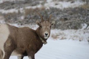 con grandes cuernos, ovejas, animal, GPS, cuello
