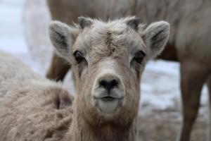 bighorn, pecora, agnello, testa, viso