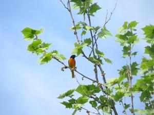 oiseau, adulte, mâle, Baltimore, oriole