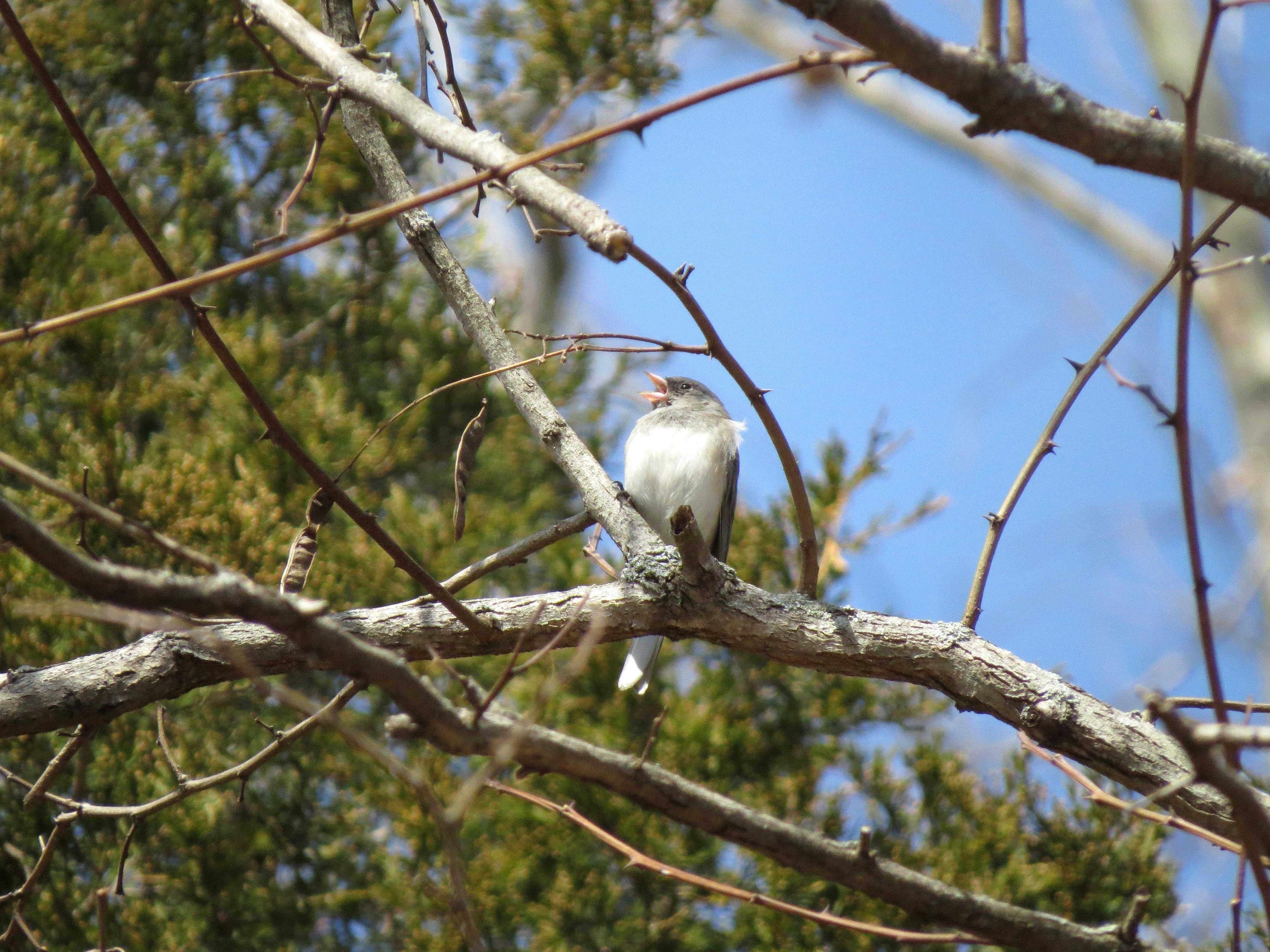 Free photograph; bird, animal, dark, eyed, Junco, tree