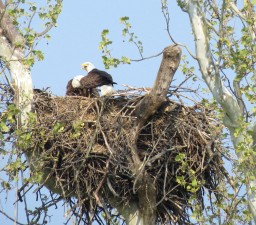 oiseau, chauve, aigle, nid