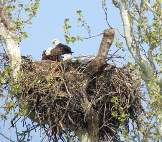 bird, Bald, eagle, nest